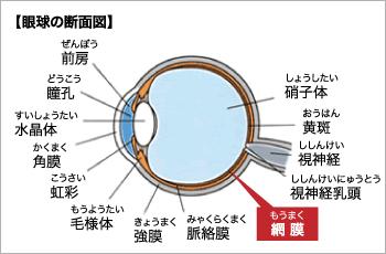 眼球の断面図
